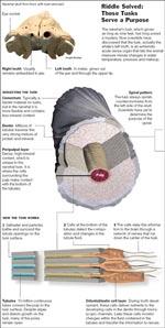 Anatomie de la dent d\'un narval