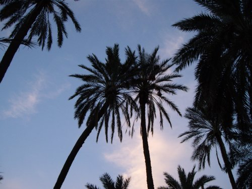 Palmiers amoureux