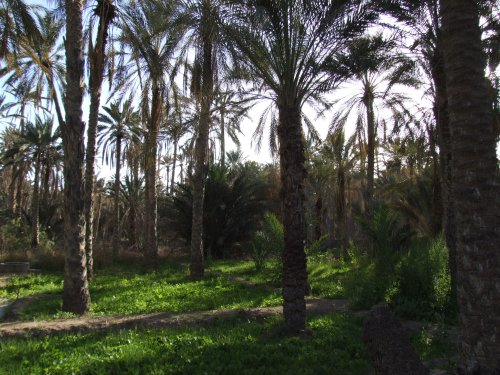 Palmiers d