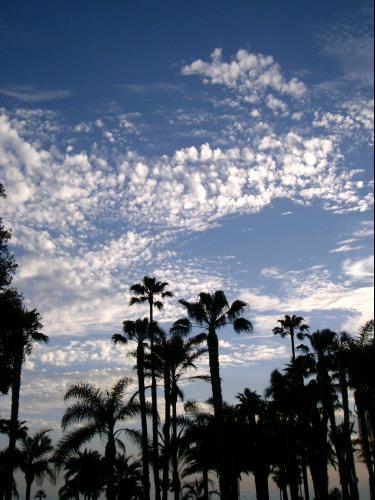 Palmiers à Santa Monica