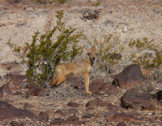 Un coyote sur le chemin de Scotty's Castle - Vallée de la Mort