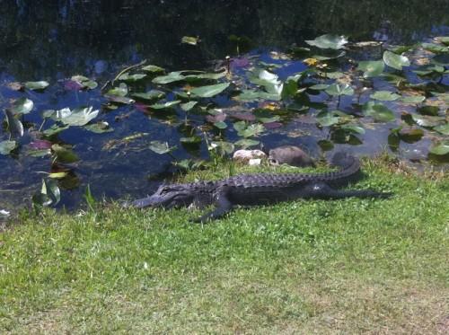 Parc des Everglades - Alligator au soleil