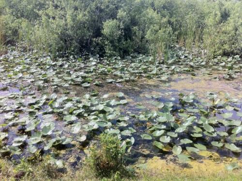 Parc des Everglades - Alligator dans l'eau