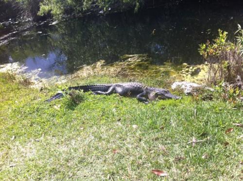 Parc des Everglades - Alligator en repos au soleil