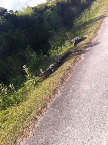 Parc des Everglades - Alligator menaçant