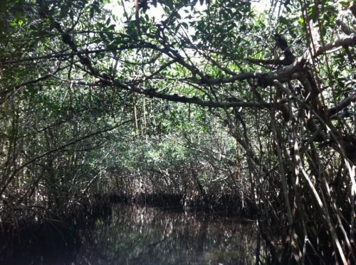 Parc des Everglades - promenade dans les palétuviers (mangrove)
