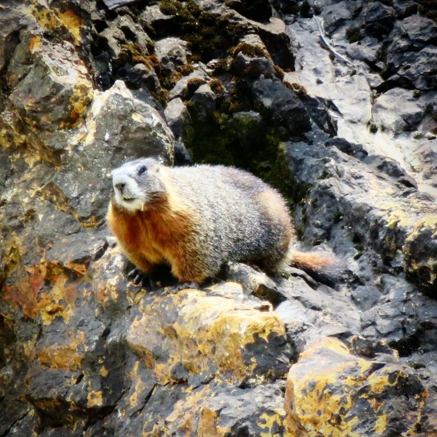 Un castor à Yellowstone en août 2016.